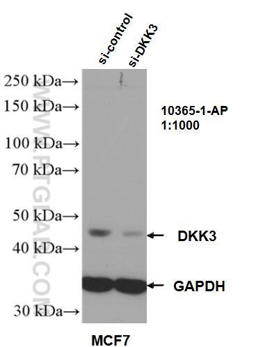 WB analysis of MCF-7 using 10365-1-AP