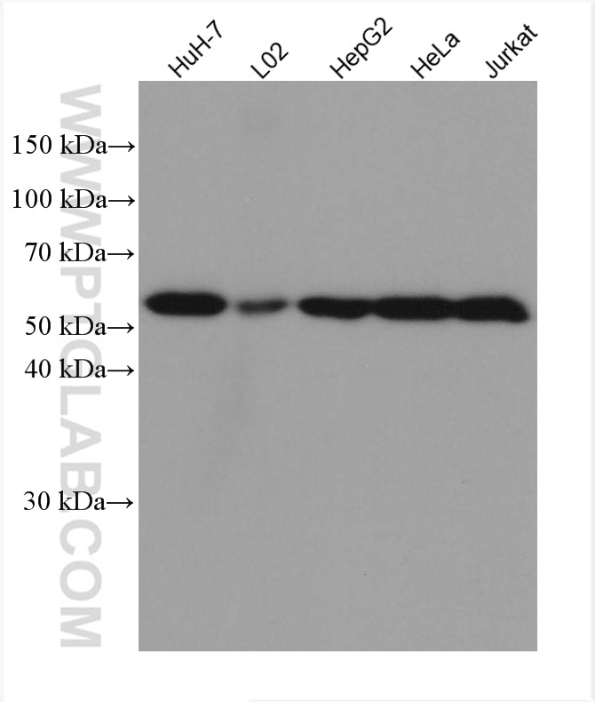 WB analysis using 67702-1-Ig