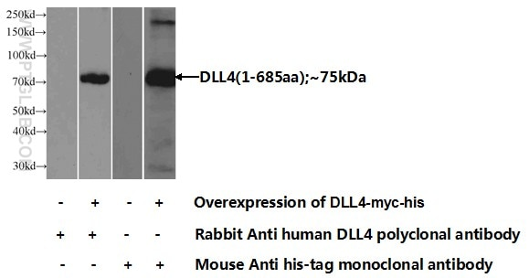 DLL4 Polyclonal antibody