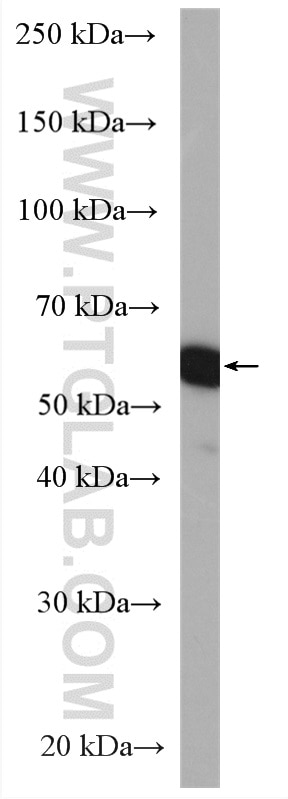 WB analysis of A549 using 11090-1-AP