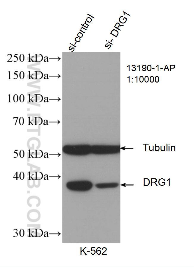 DRG1-Antibody-13190-1-AP-WB-127981.jpg