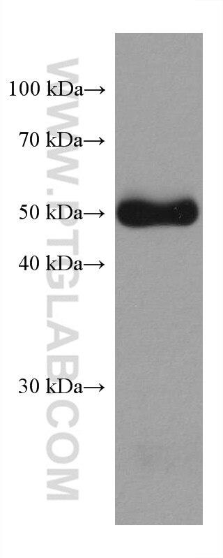 WB analysis of mouse testis using 67793-1-Ig