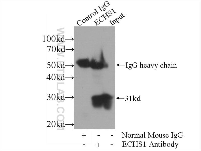 IP experiment of HepG2 using 66117-1-Ig