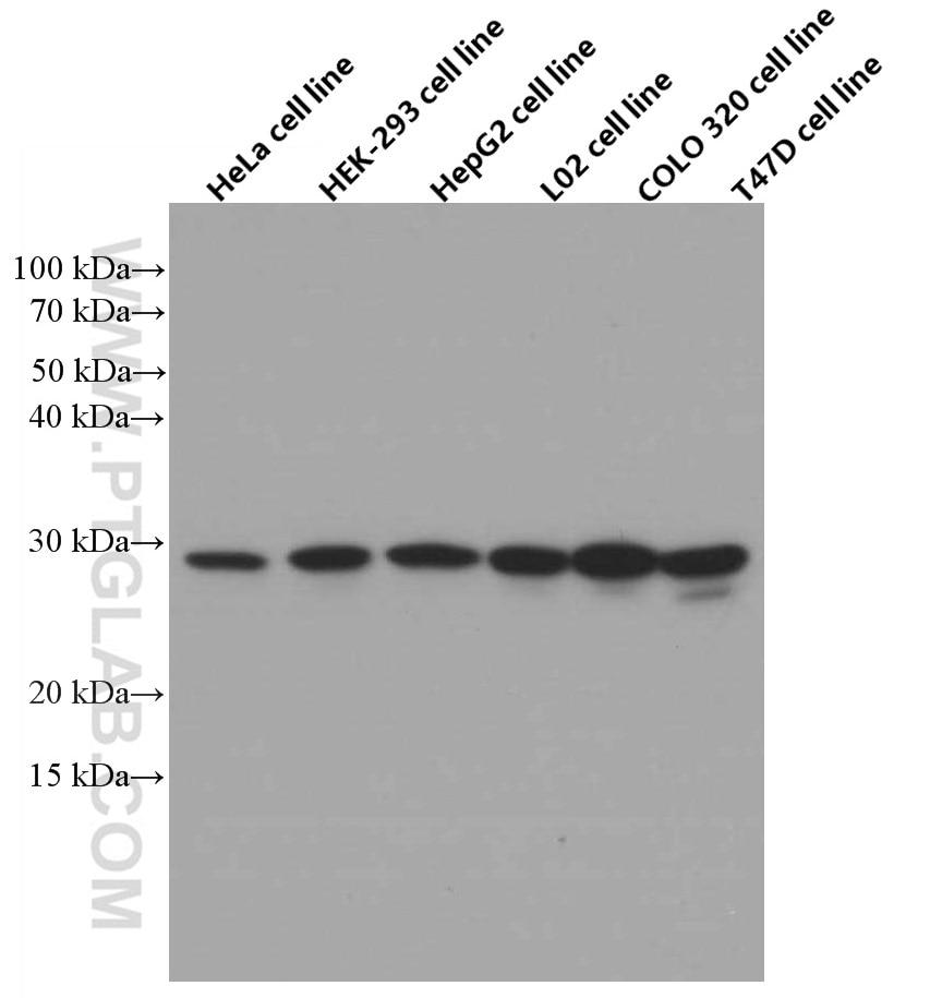 WB analysis using 66117-1-Ig