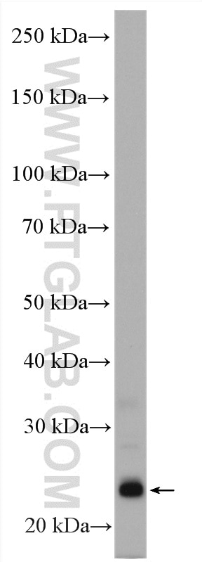 WB analysis of NIH/3T3 using 12191-1-AP