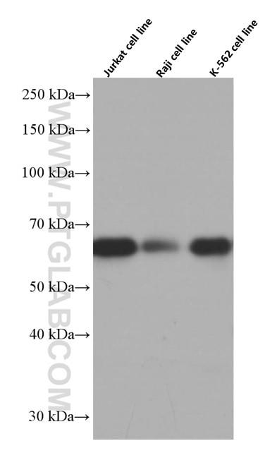 WB analysis using 66482-1-Ig