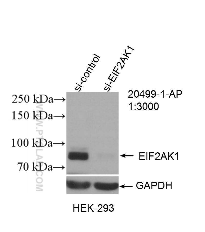 WB analysis of HEK-293 using 20499-1-AP