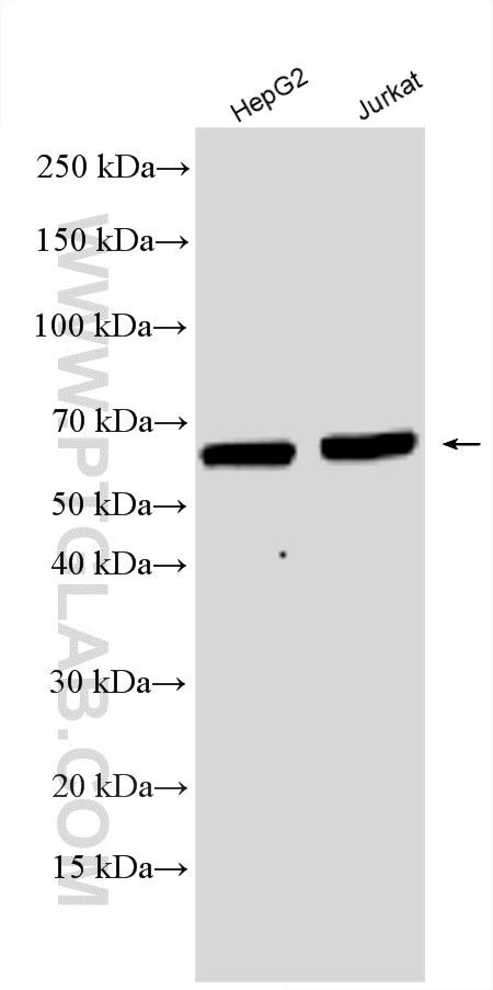 WB analysis using 18244-1-AP