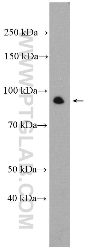 WB analysis of K-562 using 10686-1-AP