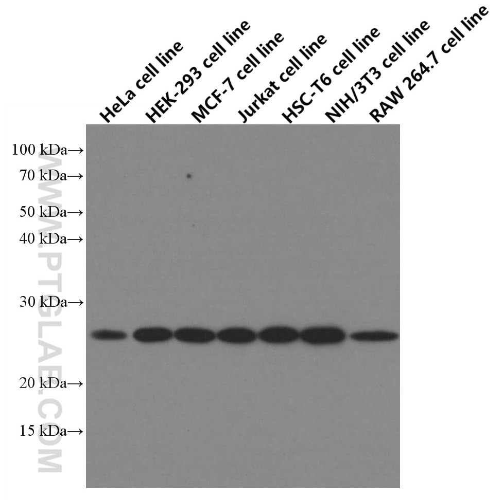 WB analysis of HeLa using 66655-1-Ig