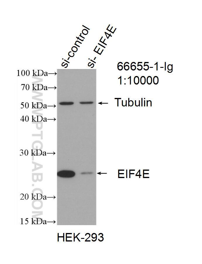 WB analysis of HEK-293 using 66655-1-Ig