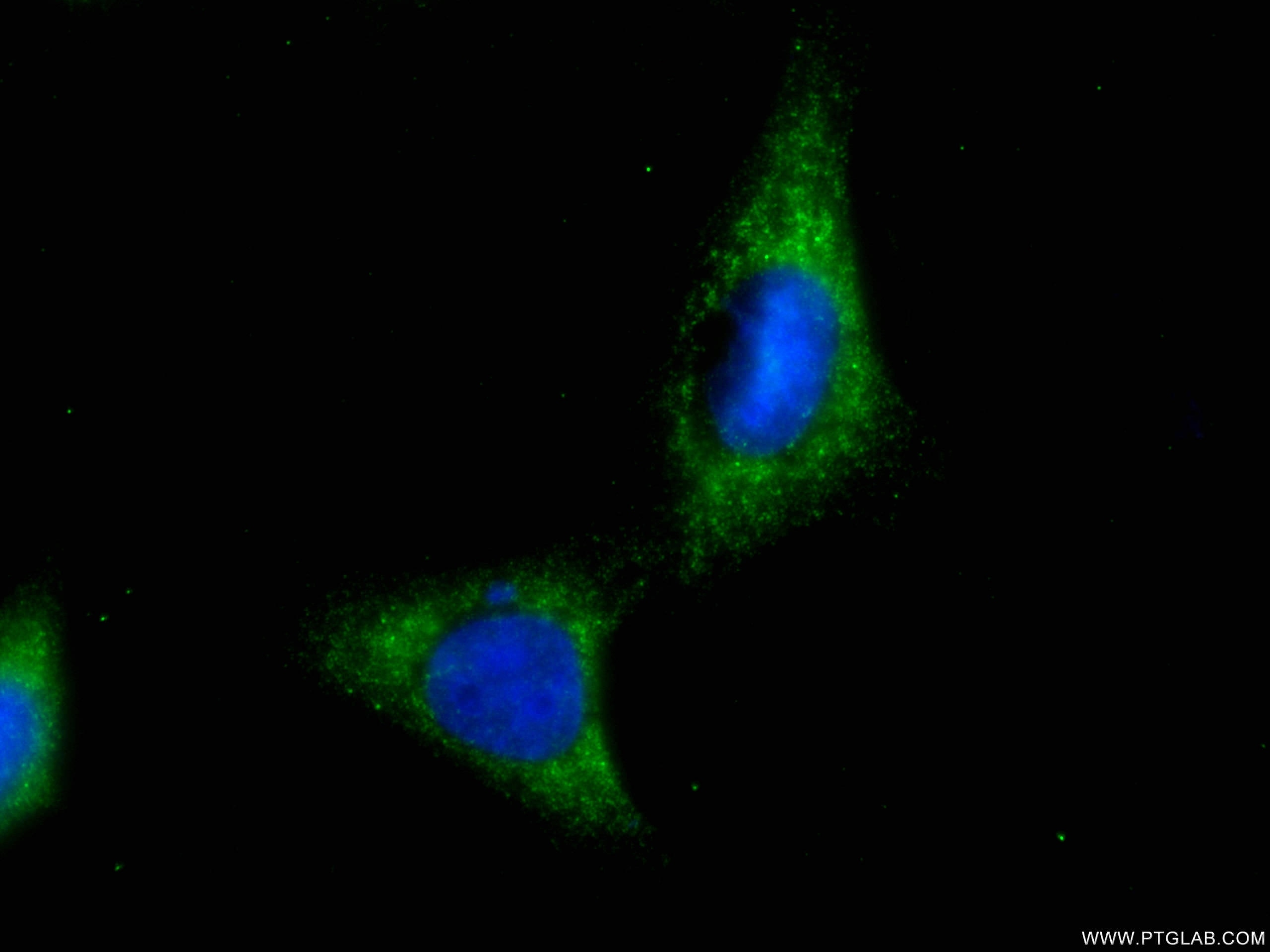 IF Staining of HepG2 using CL488-66655