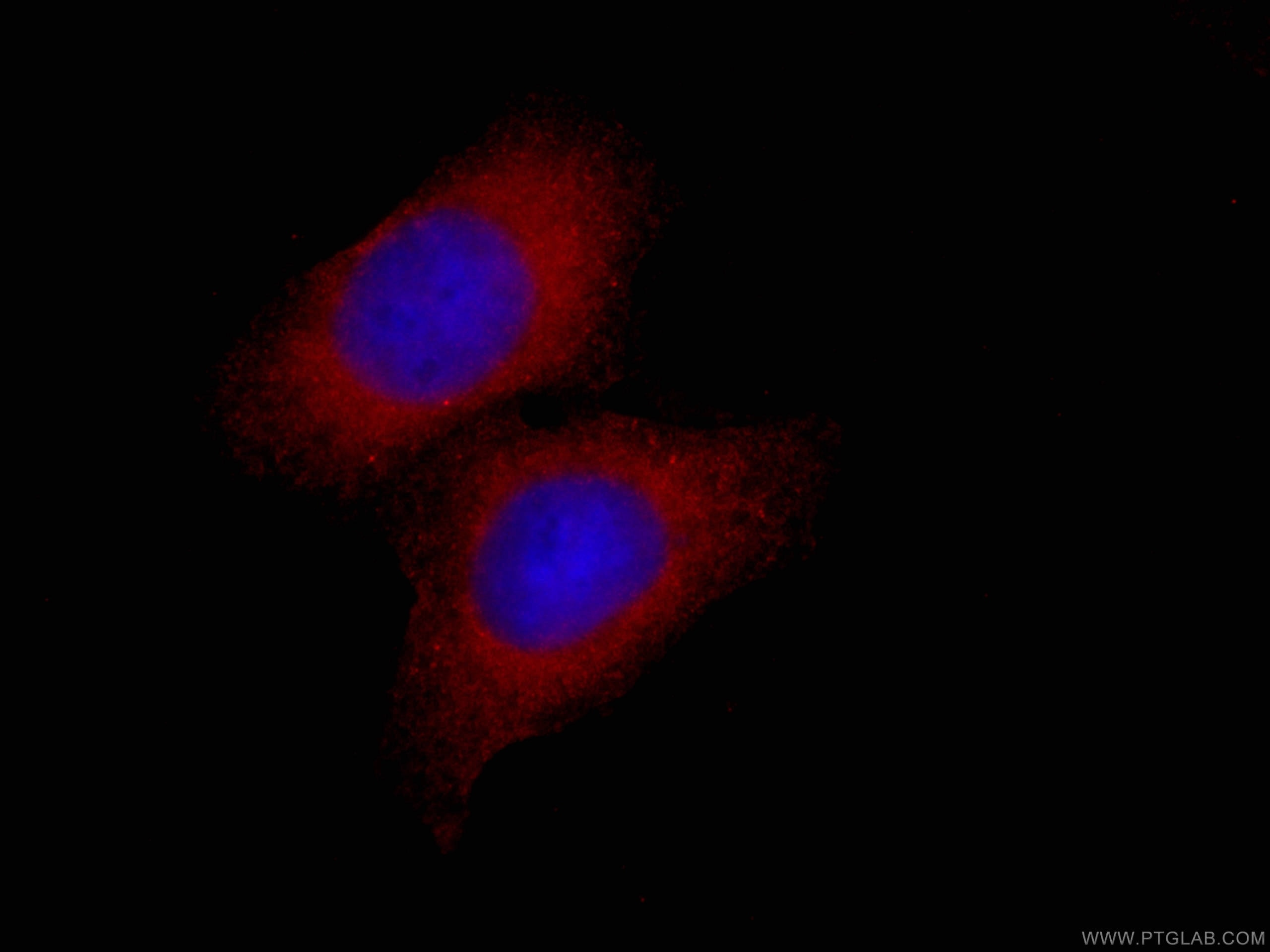 IF Staining of HepG2 using CL594-66655