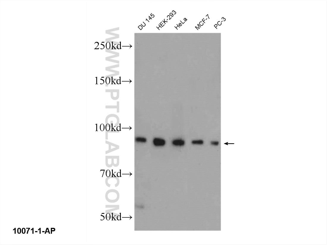 WB analysis of DU 145 using 10071-1-AP