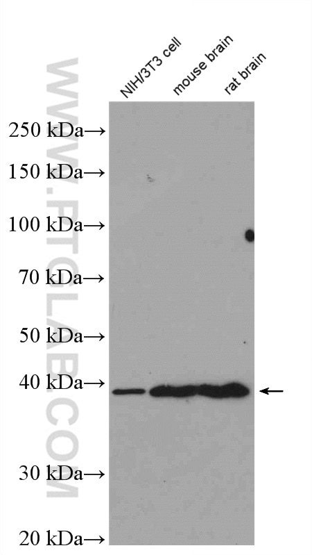 WB analysis of NIH/3T3 using 16443-1-AP