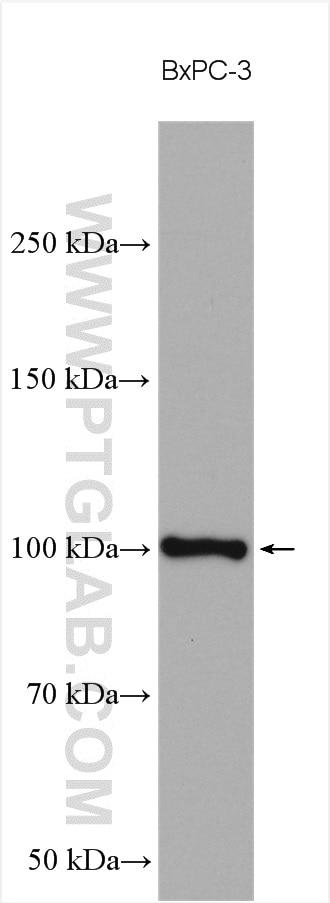 WB analysis using 16731-1-AP