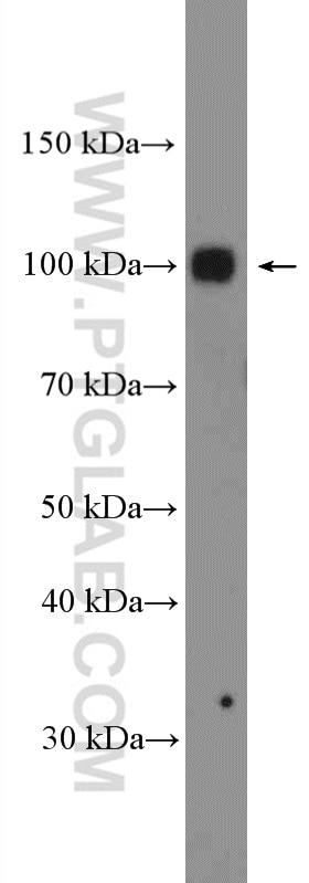 WB analysis of DU 145 using 21800-1-AP