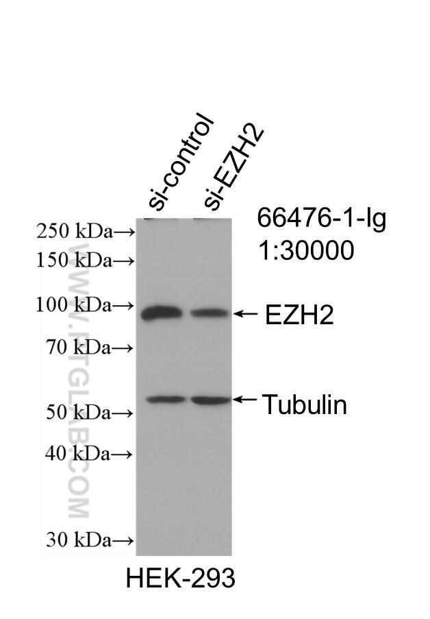 WB analysis of HEK-293 using 66476-1-Ig