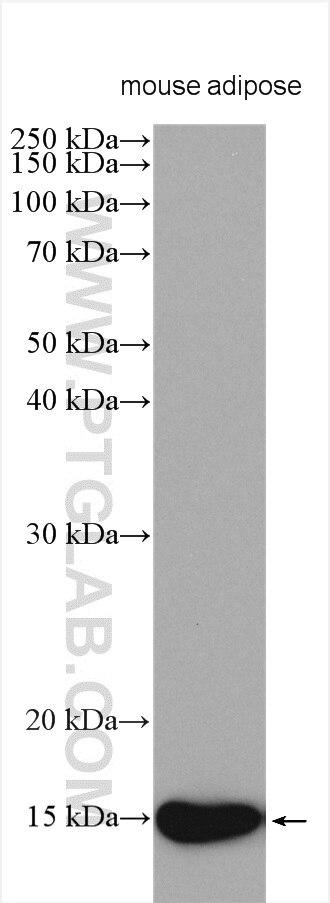 WB analysis using 12802-1-AP