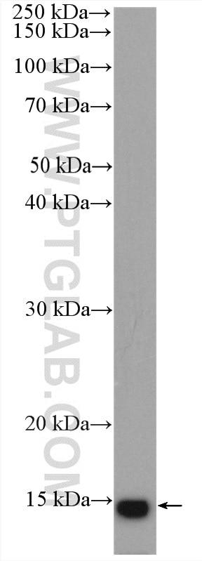 WB analysis of rat skeletal muscle using 15872-1-AP