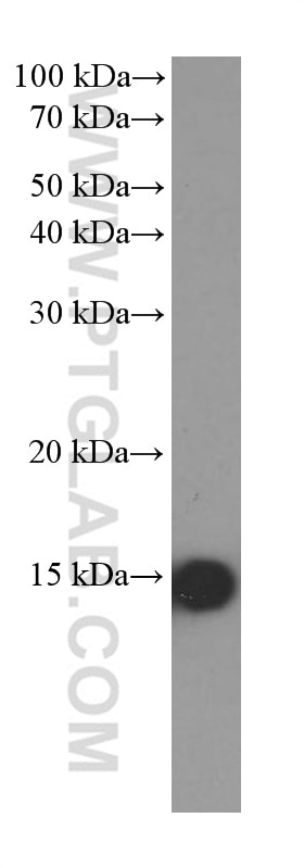 A375 cells were subjected to SDS PAGE followed by western blot with 66299-1-Ig(  FABP5 Antibody) at dilution of 1:8000 incubated at room temperature for 1.5  ...