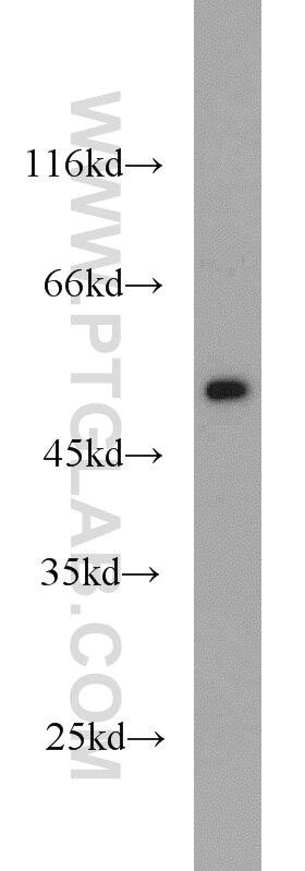 FAF2 Polyclonal antibody