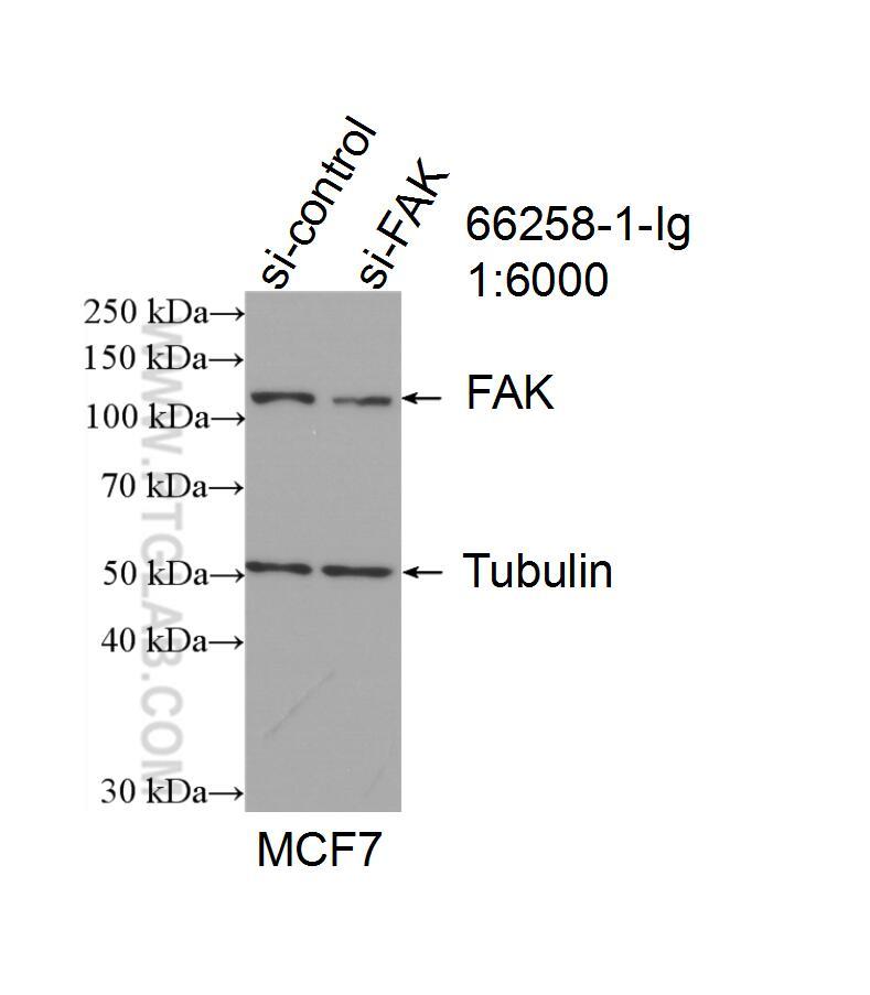 WB analysis of MCF-7 using 66258-1-Ig