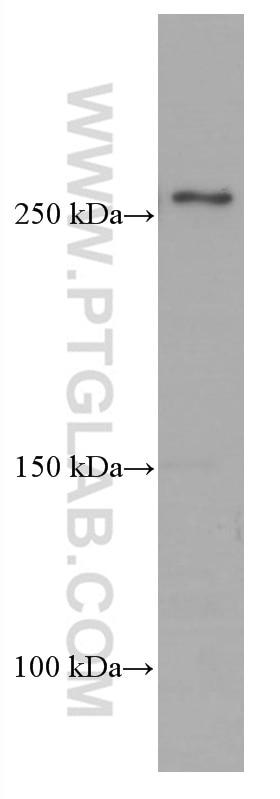 WB analysis of HepG2 using 66591-1-Ig