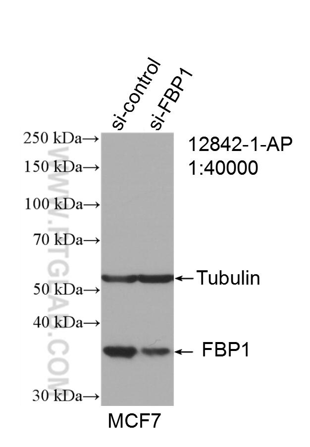 WB analysis of MCF-7 using 12842-1-AP