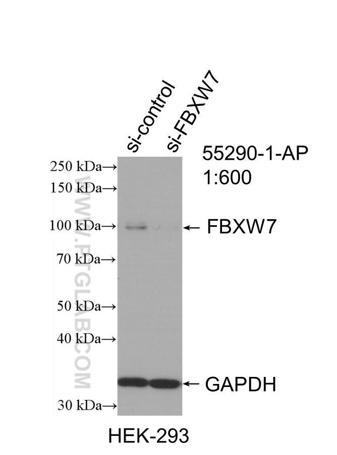 WB analysis of HEK-293 using 55290-1-AP