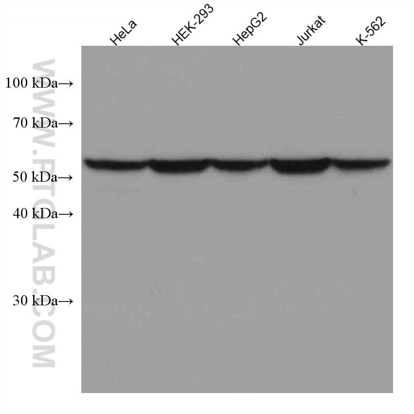 WB analysis using 66040-2-Ig
