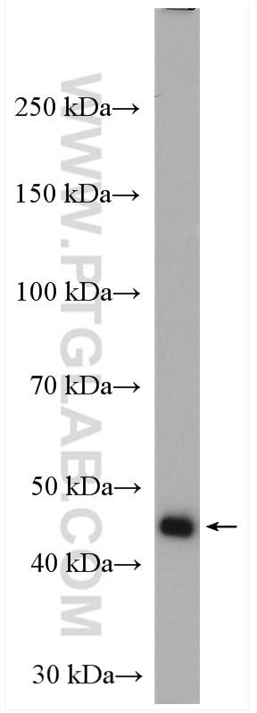 WB analysis of MCF-7 using 10060-1-AP