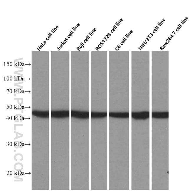 WB analysis of HeLa using 66389-1-Ig