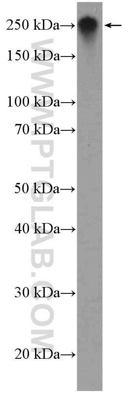 WB analysis of NIH/3T3 using 15613-1-AP