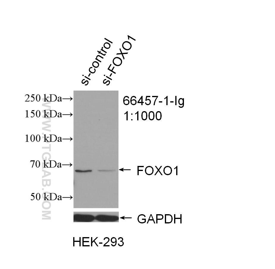 WB analysis of HEK-293 using 66457-1-Ig