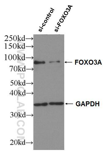 WB analysis of HEK-293 using 10849-1-AP