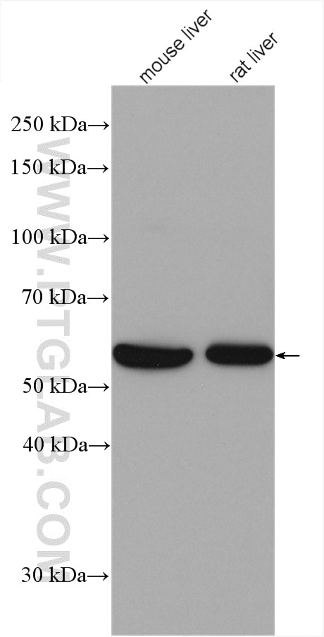 Various lysates were subjected to SDS PAGE followed by western blot with  21959-1-AP (FTCD antibody) at dilution of 1:8000 incubated at room  temperature for ...