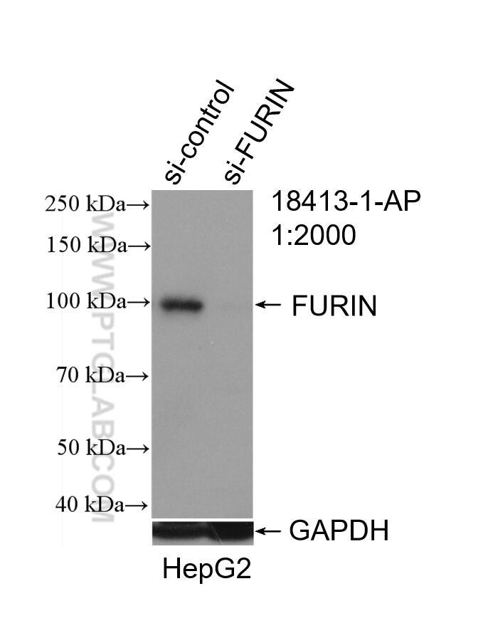 WB analysis of HepG2 using 18413-1-AP
