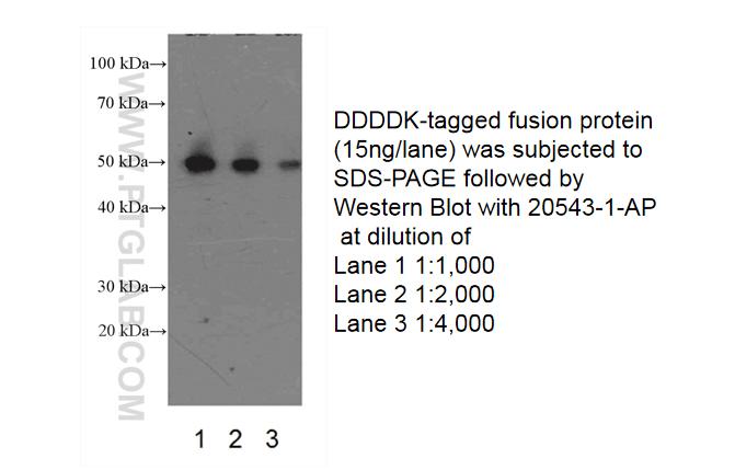 DYKDDDDK tag Polyclonal antibody (Binds to FLAG® tag epitope)