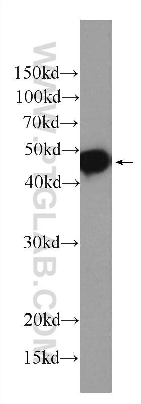 60002-1-Ig;recombinant protein
