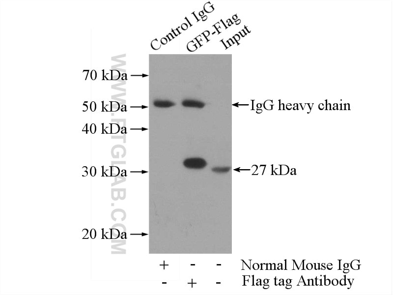 IP experiment of Recombinant protein using 60002-1-Ig