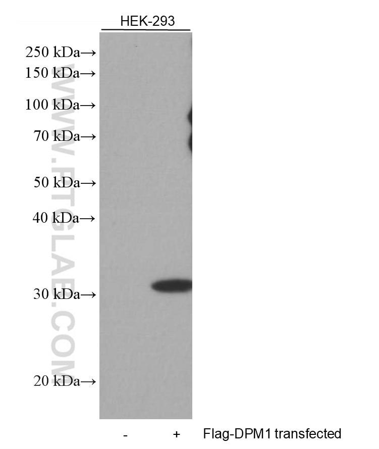 WB analysis of HEK-293 using 66008-3-Ig