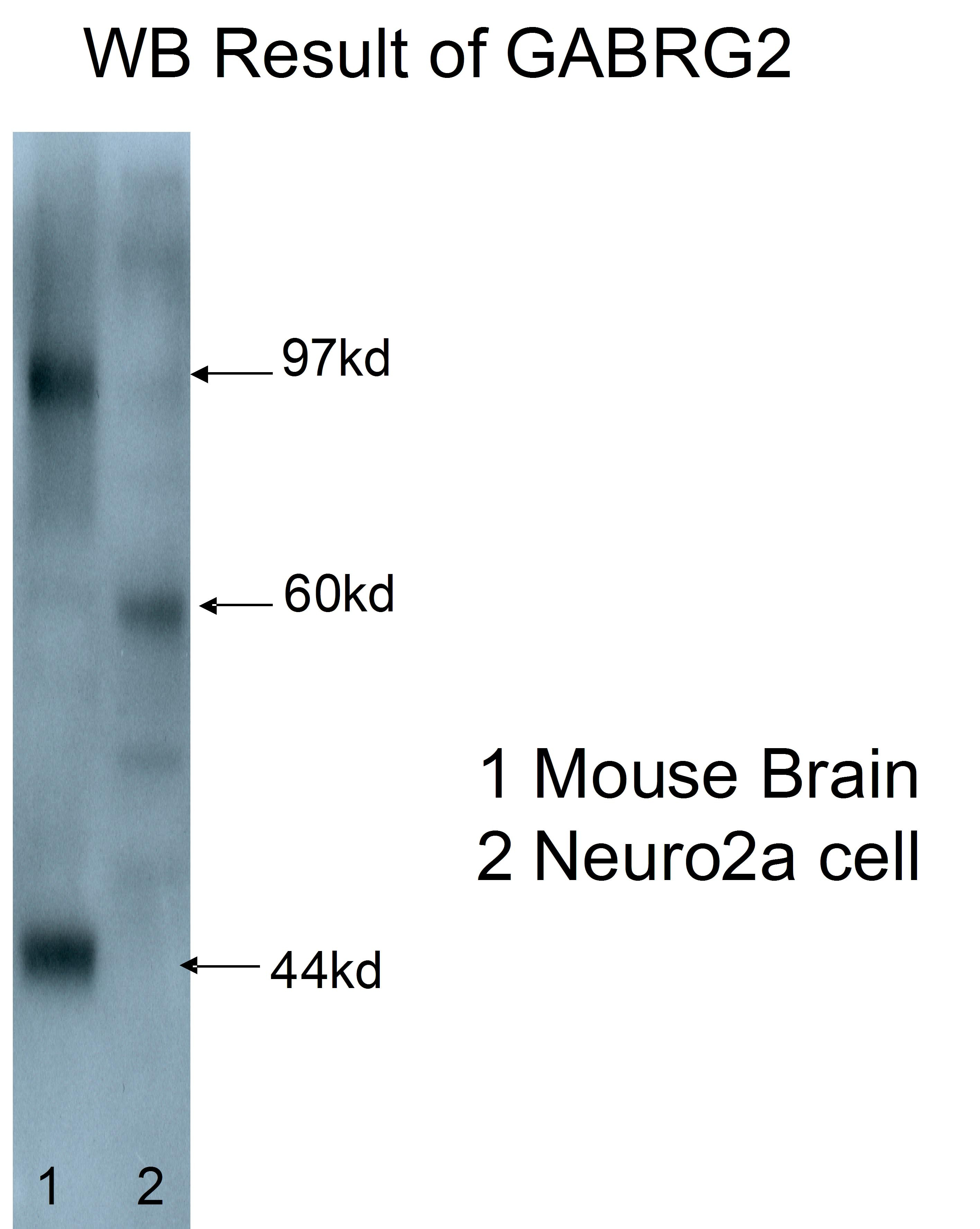 WB analysis of mouse brain/Neuro2a cells using 14104-1-AP