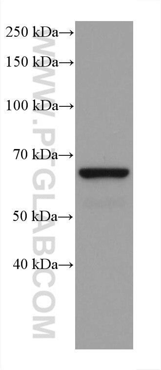 WB analysis of pig brain using 67648-1-Ig
