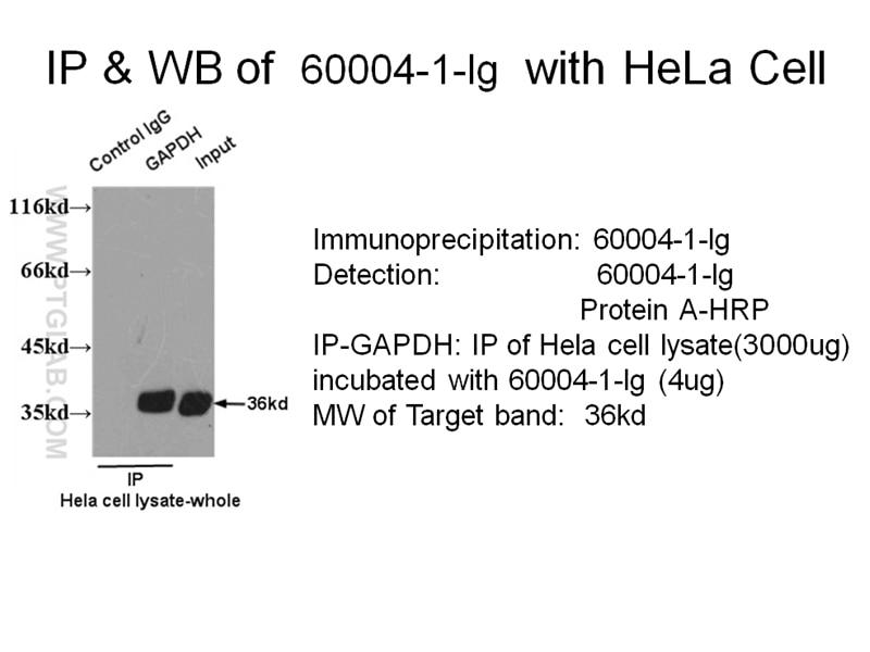 60004-1-Ig;HeLa Cells