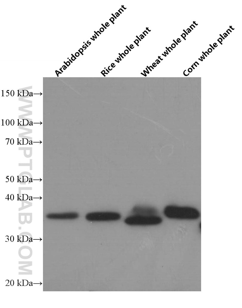 60004-1-Ig;arabidopsis whole plant tissue