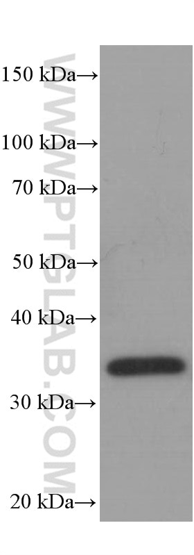 60004-1-Ig;rice whole plant tissue