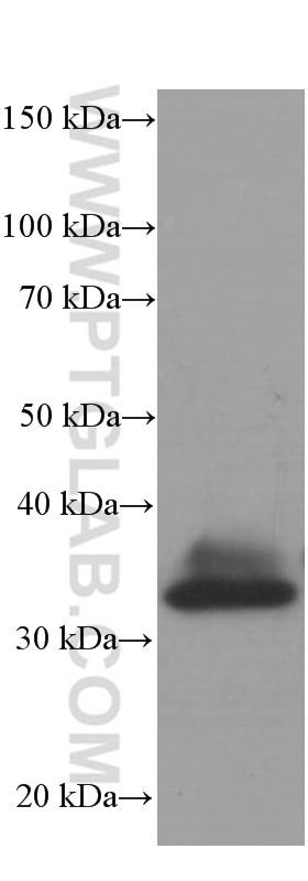 60004-1-Ig;wheat whole plant tissue