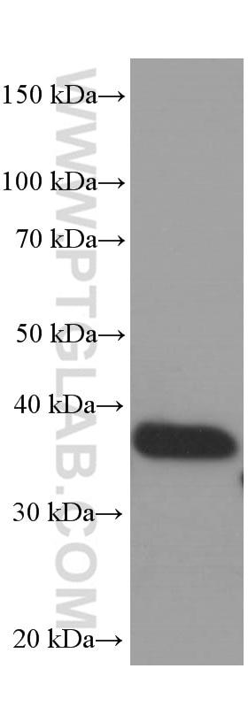 60004-1-Ig;corn whole plant tissue