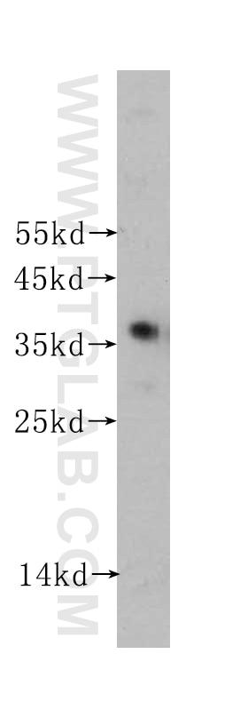 60004-1-Ig;HEK-293 cells